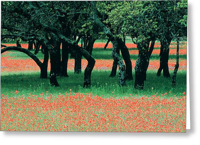 Flower Blooms Greeting Cards - Indian Paintbrushes And Scattered Oaks Greeting Card by Panoramic Images