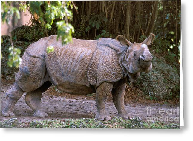 One Horned Rhino Greeting Cards - Indian Rhinoceros Greeting Card by Mark Newman