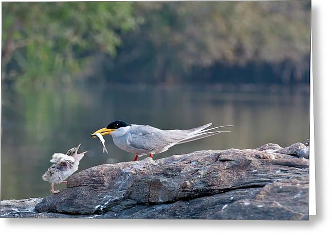 Indian River Tern Feeding Chick Greeting Card by K Jayaram