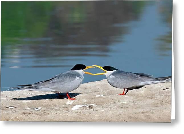 Indian River Terns Greeting Greeting Card by K Jayaram