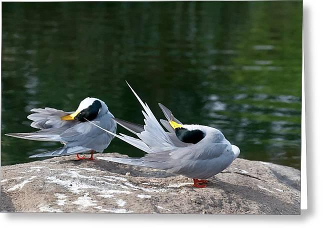 Indian River Terns Preening Greeting Card by K Jayaram
