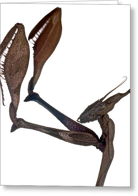 Indian Rose Mantis Gonglus Gongylodes Wondering Violin Mantis 3 Of 3 Greeting Card by Leslie Crotty