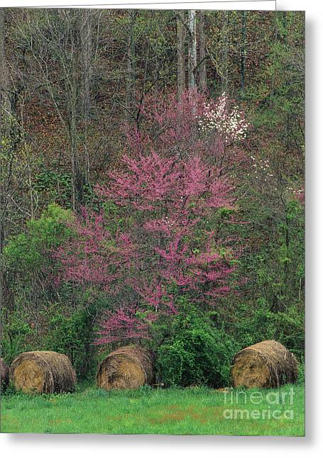Indiana Dogwood Trees Greeting Cards - Indiana Spring - FM000092 Greeting Card by Daniel Dempster
