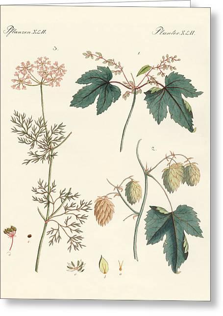 Hop Drawings Greeting Cards - Indigenous spice plants Greeting Card by Splendid Art Prints