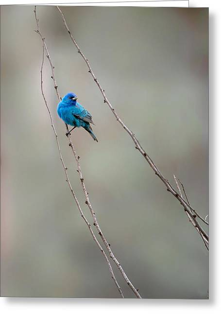 Indigo Bunting Greeting Card by Bill Wakeley