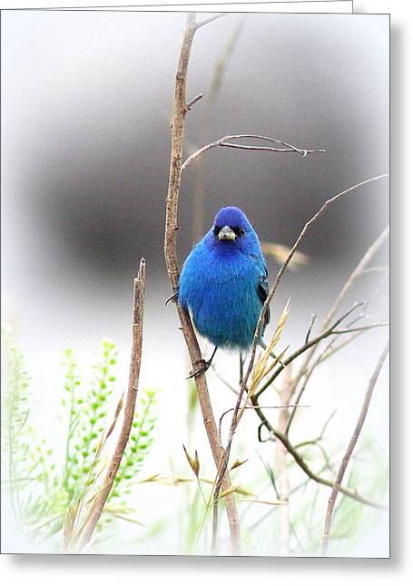 Travis Truelove Photography Greeting Cards - Indigo Bunting - Blue - Birds Greeting Card by Travis Truelove