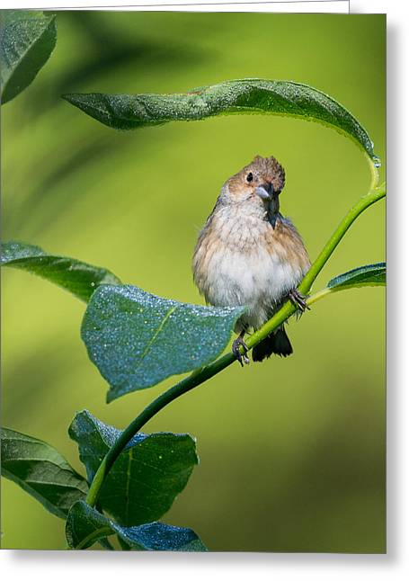 Square Format Greeting Cards - Indigo Bunting Female Greeting Card by Bill  Wakeley