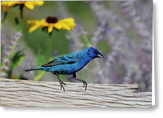 Indigo Bunting (passerina Cyanea Greeting Card by Richard and Susan Day