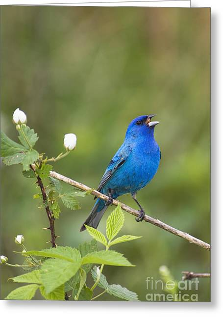 Birds. Thorns Greeting Cards - Indigo II - D009001 Greeting Card by Daniel Dempster
