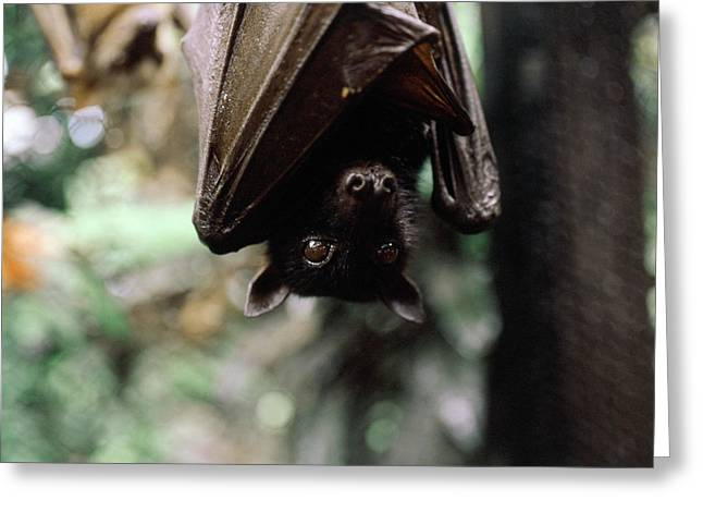 Indonesia, North Sulawesi, Fruit Bat Greeting Card by Tony Berg