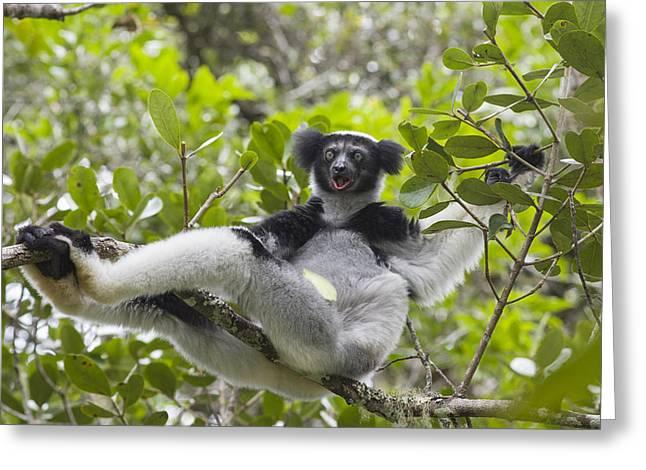 Madagascar National Park Greeting Cards - Indri Calling Madagascar Greeting Card by Suzi Eszterhas