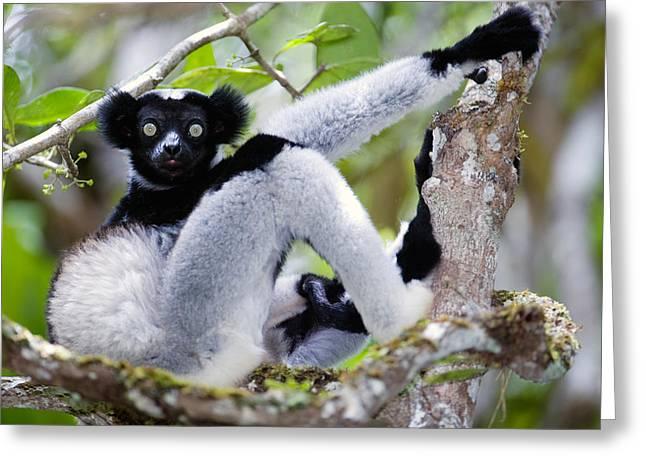Lemur Greeting Cards - Indri Lemur Indri Indri Sitting Greeting Card by Panoramic Images