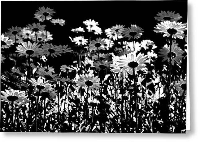 Infrared Daisies Greeting Card by David Patterson
