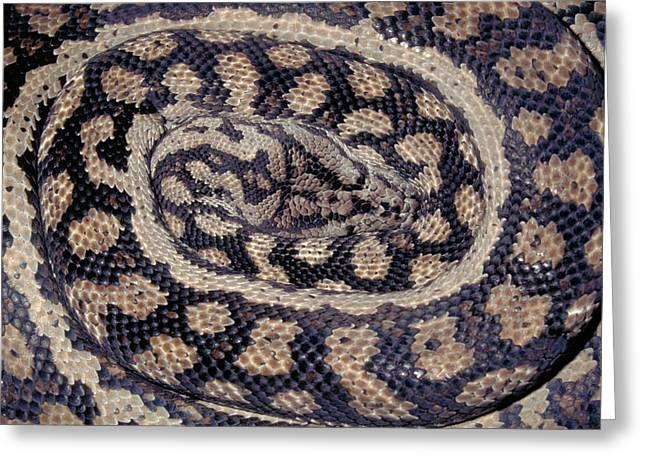 Inland Carpet Python  Greeting Card by Karl H Switak