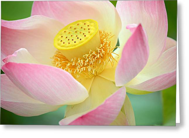 Pink Lotus Greeting Cards - Inner Beauty 2 Greeting Card by Fraida Gutovich