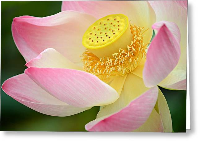 Pink Lotus Greeting Cards - Inner Beauty Greeting Card by Fraida Gutovich