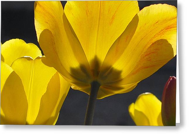 Spring Bulbs Greeting Cards - Inner Glow IGP Greeting Card by Jim Brage