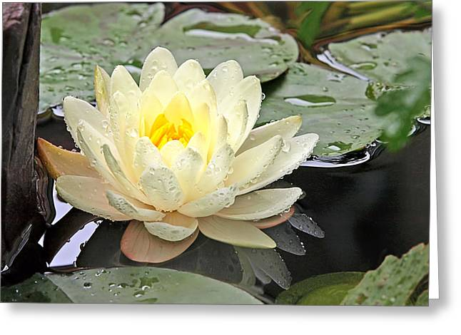 White Waterlily Greeting Cards - Inner Glow - White Water Lily Greeting Card by Gill Billington