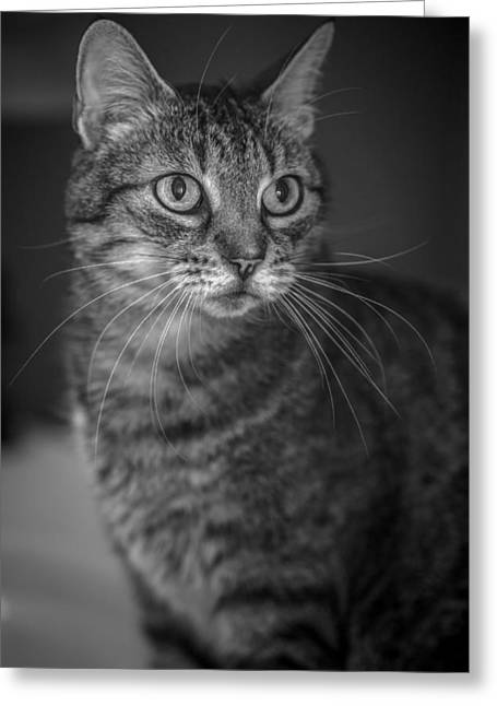 American Shorthair Greeting Cards - Innocence   Greeting Card by Anita Miller