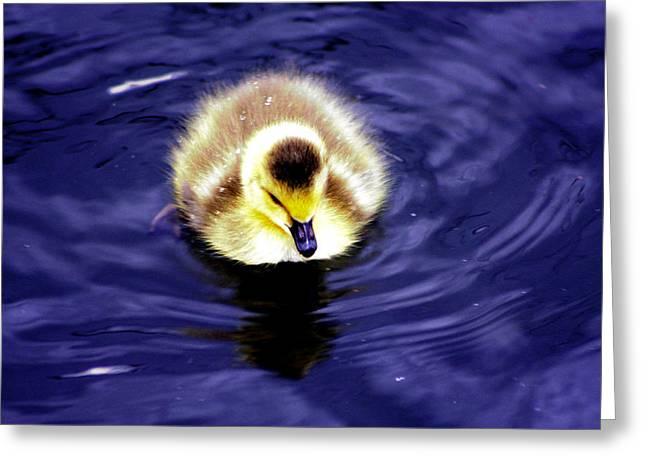 Ducklings Greeting Cards - Innocence of Spring Greeting Card by Nick Gustafson