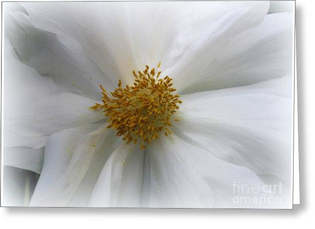 Indiana Flowers Greeting Cards - Innocence - White Peony Greeting Card by  Photographic Art and Design by Dora Sofia Caputo