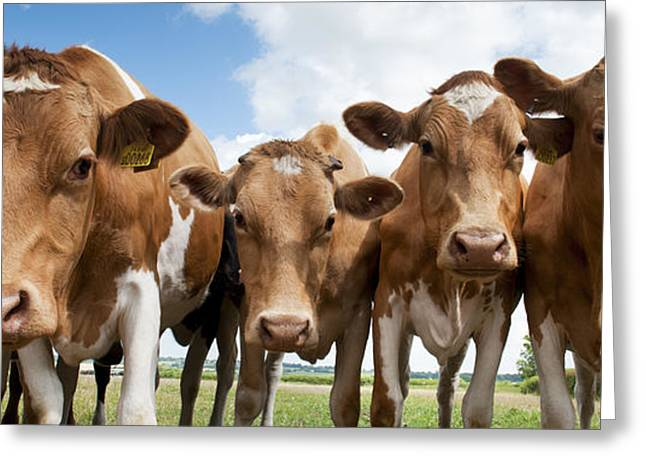 Guernsey Greeting Cards - Inquisitive Cows Greeting Card by Tim Gainey
