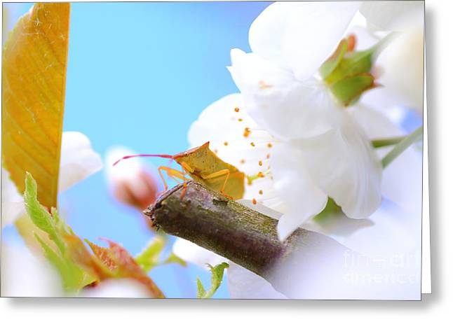 Close Focus Nature Scene Greeting Cards - Insect on cherry blossom Greeting Card by Gregory DUBUS