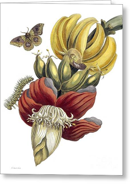 Artwork Of Butterfly Greeting Cards - Insects Of Surinam, 18th Century Greeting Card by Natural History Museum, London
