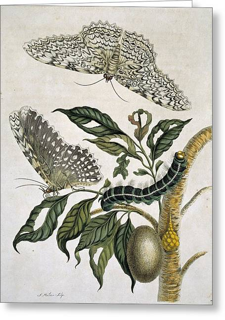 Insects Of Surinam, 18th Century Greeting Card by Science Photo Library