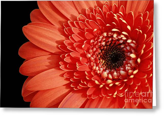 Shelley Myke Greeting Cards - Inspired Essence Gerber Daisy Greeting Card by Inspired Nature Photography By Shelley Myke