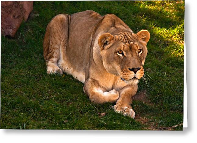 Lioness Greeting Cards - Intensity 2 Greeting Card by Steve Harrington