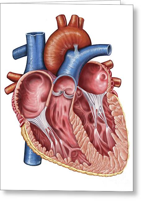 Aorta Greeting Cards - Interior Of Human Heart Greeting Card by Stocktrek Images