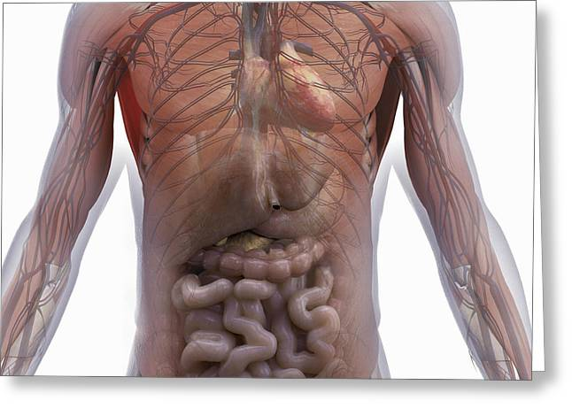 Abdominal Greeting Cards - Internal Human Anatomy Greeting Card by Science Picture Co