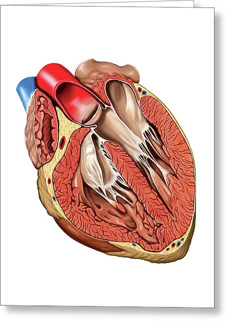 Internal View Of The Heart Greeting Card by Asklepios Medical Atlas