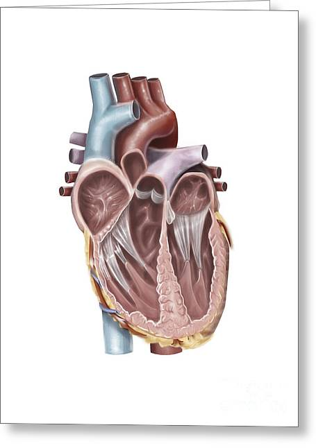 Cava Greeting Cards - Internal View Of The Human Heart Greeting Card by Alan Gesek