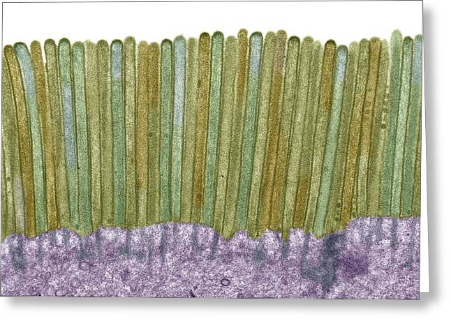 False-colour Greeting Cards - Intestinal microvilli, TEM Greeting Card by Science Photo Library