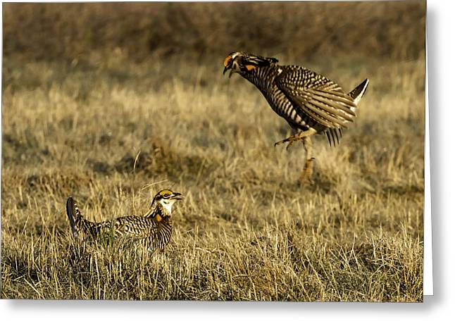 Wisconsin Prairie Chicken Greeting Cards - Intimidating Jump Greeting Card by Thomas Young