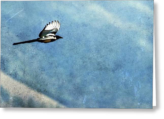 Black-billed Magpie Greeting Cards - Into the Blue - Magpie Flying Greeting Card by Belinda Greb