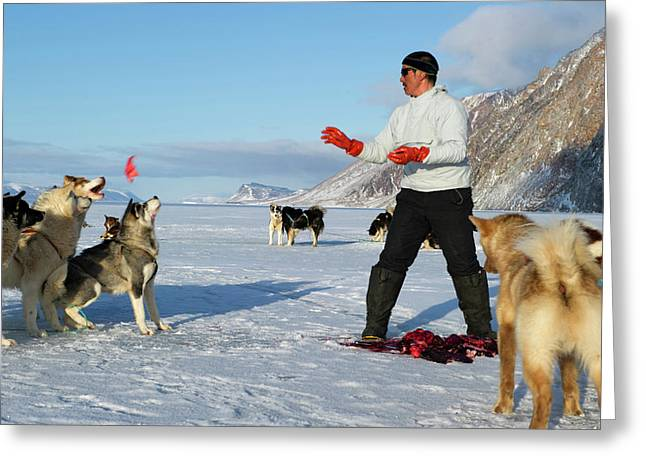 Inuit Hunter Feeding Walrus Meat To Dogs Greeting Card by Louise Murray