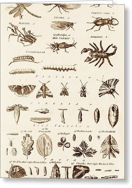 Catapillars Greeting Cards - Invertibrates And Leaf Insects Greeting Card by David Parker