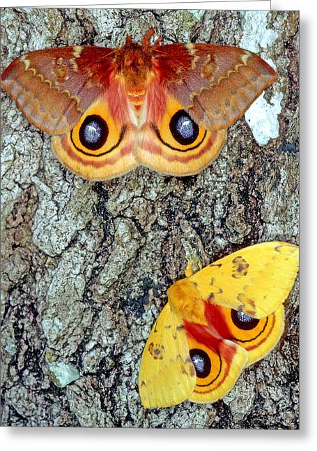 Io Moths Greeting Card by Millard H. Sharp