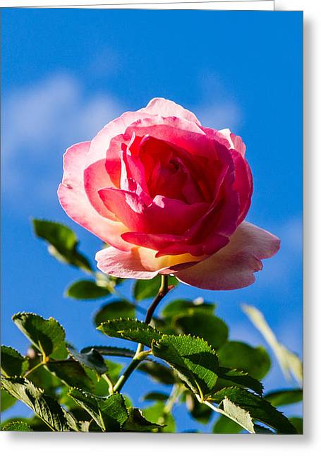 Rosebush Greeting Cards - iPhone Case - Pink Rose Greeting Card by Alexander Senin