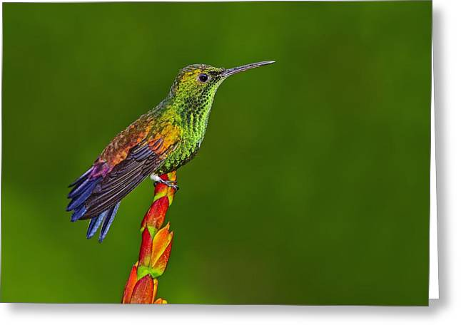 Neotropics Greeting Cards - Iridescence  Greeting Card by Tony Beck