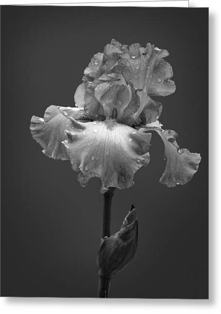 Bearded Iris Greeting Cards - Iris After the Rain Greeting Card by David and Carol Kelly