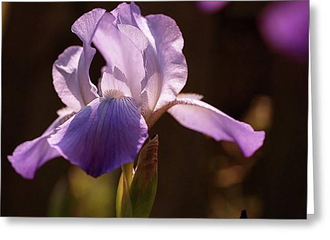 Purple Flower Greeting Cards - Iris Aglow Greeting Card by Rona Black