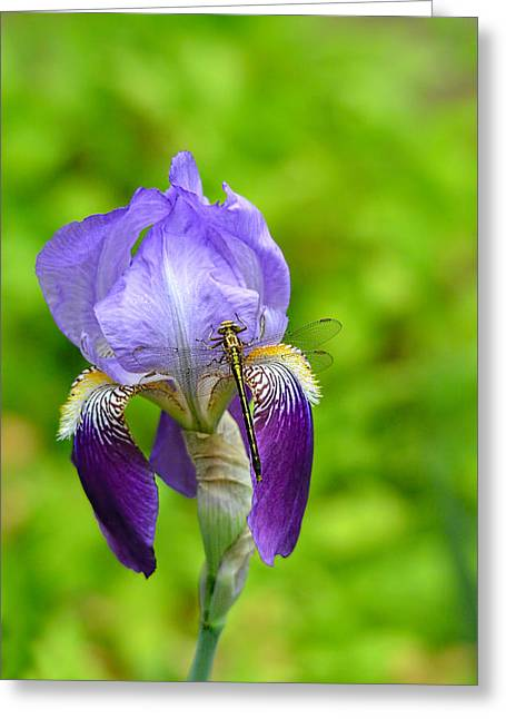 Iris Germanica Greeting Cards - Iris and the Dragonfly 7 Greeting Card by Jai Johnson