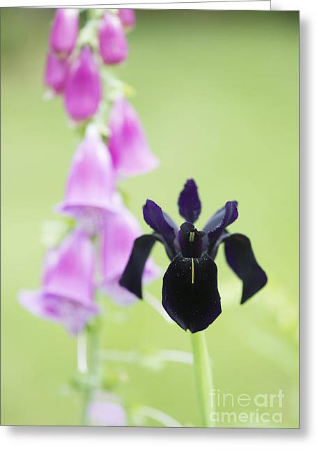 Iris Chrysographes Black Form With Foxglove Greeting Card by Tim Gainey