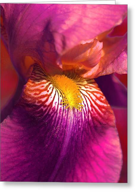 Yellow Bearded Iris Greeting Cards - Iris Flower Fuchsia Pink Greeting Card by Jennie Marie Schell