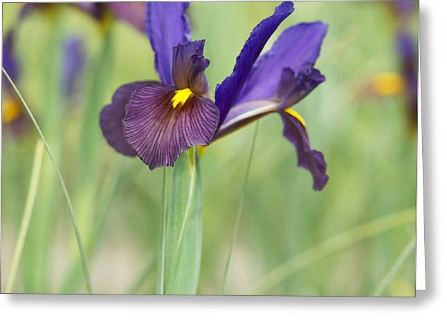 Iris Hollandica 'Eye of the Tiger' Greeting Card by Tim Gainey