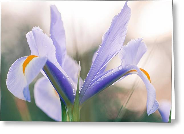Evening Lights Greeting Cards - Iris in the evening light Greeting Card by Constance Fein Harding